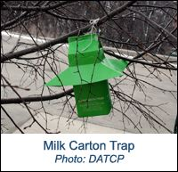 Photo of a Gypsy Moth Milk Carton Trap hanging from a tree branch